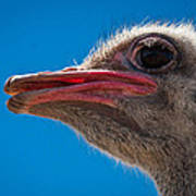 Ostrich Profile Poster by Jean Noren