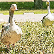 Pair Of Geese Poster by Artist and Photographer Laura Wrede