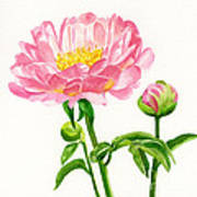 Peach Colored Peony With Buds Poster by Sharon Freeman