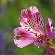 Pink Alstroemeria Flower Poster by Rona Black