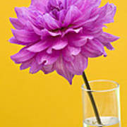 Pink Dahlia In A Vase Against Yellow Orange Background Poster by Natalie Kinnear