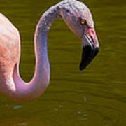 Pink Flamingo Poster by Garry Gay