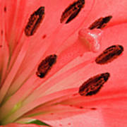 Pink Lily Macro Poster by Adam Romanowicz