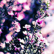 Pink Manuka Flowers Poster by motography aka Phil Clark