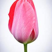 Pink Tulip Poster by Elena Elisseeva
