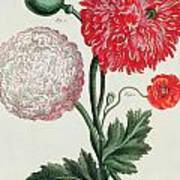 Poppy Poster by Basilius Besler