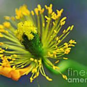 Poppy Seed Capsule 2 Poster by Kaye Menner