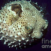 Porcupinefish Poster by Gregory G. Dimijian