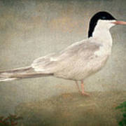 Portrait Of A Tern Poster by Tom York Images