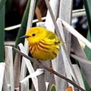 Pretty Little Yellow Warbler Poster by Elizabeth Winter