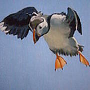 Puffin Landing Poster by Eric Burgess-Ray