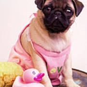 Pug Puppy Bath Time Poster by Edward Fielding