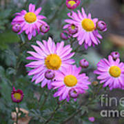 Purple Asters Poster by Lena Auxier