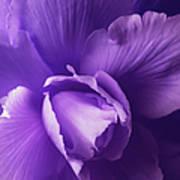 Purple Begonia Flower Poster by Jennie Marie Schell