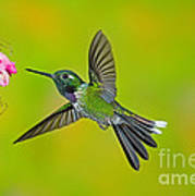 Purple-bibbed Whitetip Hummingbird Poster by Anthony Mercieca