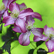 Purple Clematis Poster by Sylvia Cook