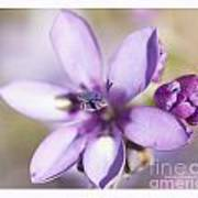 Purple Geranium 2 Poster by Artist and Photographer Laura Wrede