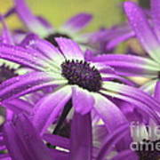 Purple Senetti Iv Poster by Cate Schafer