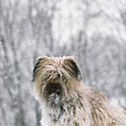 Pyrenean Shepherd Dog Poster by Jean-Paul Ferrero