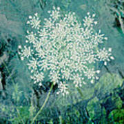 Queen Anne's Lace  Poster by Ann Powell