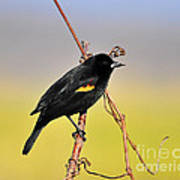 Radiant Red-winged Poster by Al Powell Photography USA