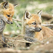 Red Fox Kits Poster by Everet Regal