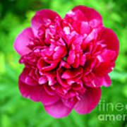 Red Peony Flower Poster by Edward Fielding