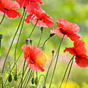 Red Poppies Poster by FunCards