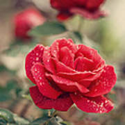 Red Rose After Rain Poster by Diana Kraleva