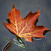 Red Sugar Maple Leaf Poster by Christina Rollo
