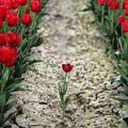 Red Tulips Poster by Jim Corwin