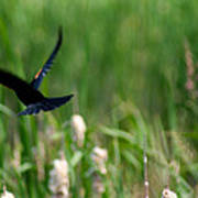 Red Winged Blackbird Poster by Andrew Lahay