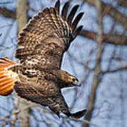 Redtail Hawk Poster by Bill Wakeley