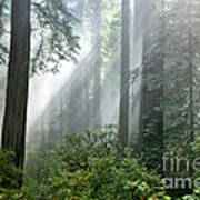 Redwood Forest With Sunbeams Poster by Inga Spence