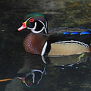 Reflective Wood Duck Poster by Deborah Benoit