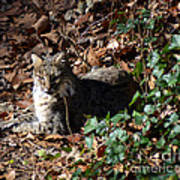 Relaxing Male Bobcat Poster by Eva Thomas