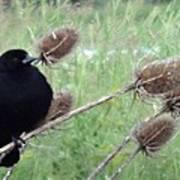 Resting Red-winged Blackbird  Poster by Lizbeth Bostrom