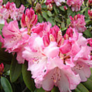 Rhododendron Garden Art Prints Pink Rhodie Flowers Poster by Baslee Troutman