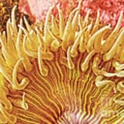 Rise And Shine Sea Anemone- Pictures Of Sea Creatures - Sea Anenome  Poster by Artist and Photographer Laura Wrede