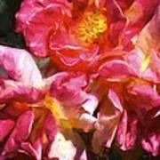 Rose 115 Poster by Pamela Cooper