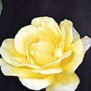 Rose 196 Poster by Pamela Cooper