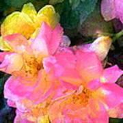 Rose 211 Poster by Pamela Cooper