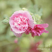 Rose Of Sharon Poster by Kay Pickens