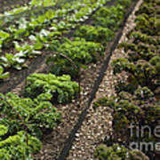 Rows Of Kale Poster by Anne Gilbert