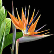 Royal Beauty I - Bird Of Paradise Poster by Ben and Raisa Gertsberg