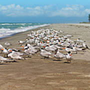 Royal Terns On The Beach Poster by Kim Hojnacki