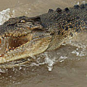 Saltwater Crocodile Poster by Bob Christopher