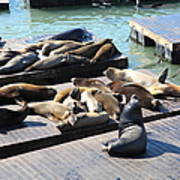 San Francisco Pier 39 Sea Lions 5d26113 Poster by Wingsdomain Art and Photography