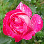 Scented Rose Poster by Ramona Matei