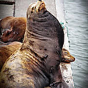 Sea Lion Poster by Robert Bales